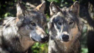 סיפור זן על שני זאבים