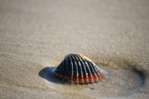 צדף על החוף בעמוד דהרמה